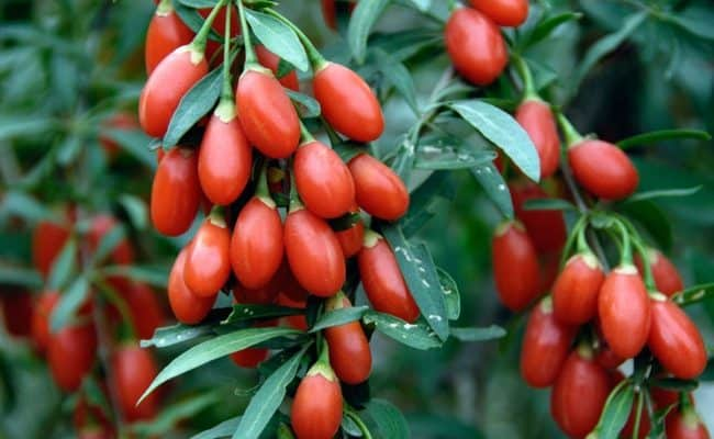 are goji berries good for weight loss